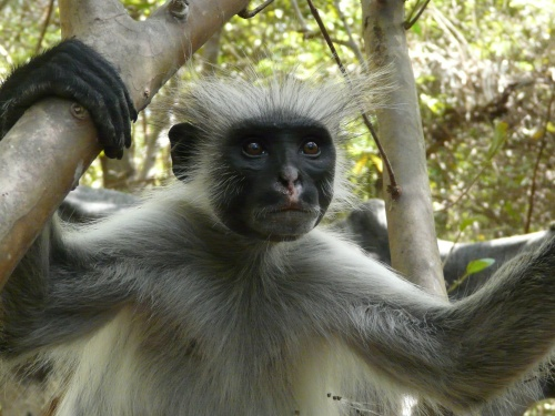 Opica Red Colobus na Zanzibare